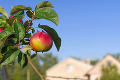 Red apples on the branch of an apple-tree Royalty Free Stock Photos