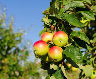 Red apples on the branch of an apple-tree Royalty Free Stock Images