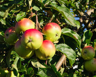 Red apples on the branch of an apple-tree Stock Images