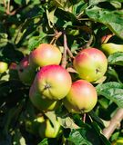 Red apples on the branch of an apple-tree Stock Photography