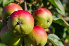 Red apples on the branch of an apple-tree Royalty Free Stock Photography