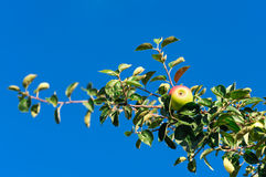 Red apples on the branch of an apple-tree Stock Image