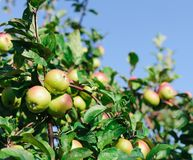 Red apples on the branch of an apple-tree Royalty Free Stock Image