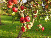 Red apples on  branch Stock Image