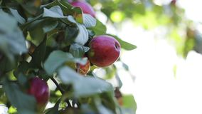Red apples on branch with green leaves in sun glare. Lens flare stock footage