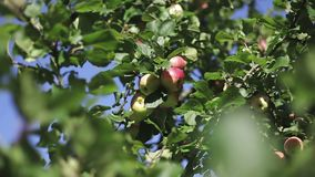 Red apples on branch with green leaves in sun glare. Blue sky background stock footage