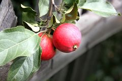 Red apples on a branch with green leaves royalty free stock photo