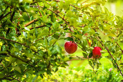 Red apples on branch in orchard Royalty Free Stock Photography