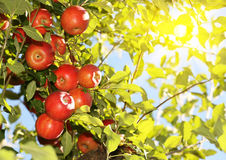 Red apples on branch ready to be harvested Stock Photo