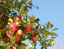 Red apples on branch ready to be harvested. Jonathan apples Royalty Free Stock Photography