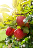 Red apples on a branch Royalty Free Stock Images