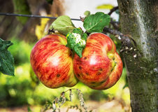 Red apples on the branch, seasonal natural scene. Red apples on the branch. Seasonal natural scene. Autumn harvest. Vibrant colors royalty free stock photos