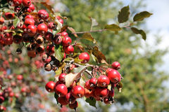 Red Apples. Branch with small red wild apples royalty free stock photos