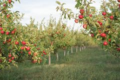 Red apples on the branches in the garden. appetizing apples. Morning in beautiful garden some where in Europe. Red apples on the trees in the apple orchard Stock Photo