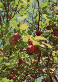 Red apples on branches - vintage retro style Stock Photography