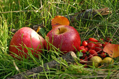 Red apples and briers. Two red apples and wild briers on the green grass nature background royalty free stock photo