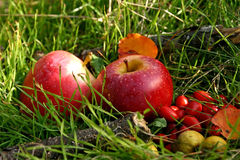 Red apples and briers. Two red apples and wild briers on the green grass nature background stock photography