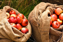 Red Apples in Burlap Bags. Burlap bags or sacks filled with red apples outside in the green grass Stock Image