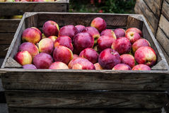Red apples. Chest full of polish treasure - apples Stock Photography