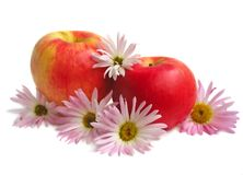 Red apples with chrysanthemum. Red apples with colorful chrysanthemum Stock Photos