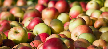 Red apples close-up royalty free stock photos