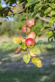 Red Apples Closeup, Tree Branch Detail Stock Photo