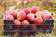 Red apples in a crate Stock Image
