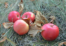 Red apples are on the dry grass among the fallen autumn leaves Stock Image