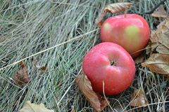 Red apples are on the dry grass among the fallen autumn leaves, place for your text Royalty Free Stock Image