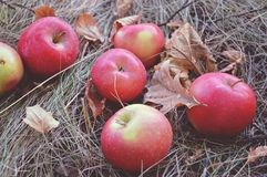 Red apples are on the dry grass among the fallen autumn leaves, vintage colors Stock Photos