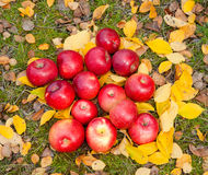 Red apples on fall foliage Royalty Free Stock Photos