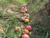 Red apples fall from the tree into the pit . Apple tree dropping fruit stock images