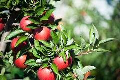Red apples in a farm's apple orchard. Trees with ripe red apples in a farm's apple orchard Stock Photos