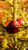 Red apples on the fir tree. Red Apples on a green fir tree Royalty Free Stock Image