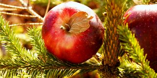 Red apples on the fir tree. Red Apples on a green fir tree Stock Photo