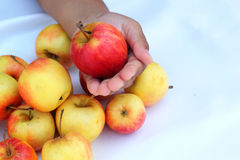 Red apples fresh in hand. Royalty Free Stock Images