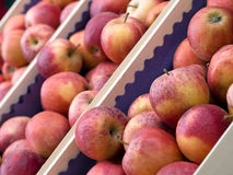 Red apples, freshly picked and ready to store. Stock Images
