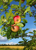 Red apples in garden Royalty Free Stock Photos