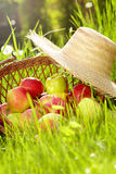 Red apples and garden basket Royalty Free Stock Photography