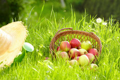 Red apples and garden basket Royalty Free Stock Photos