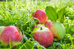 Red apples in a garden on a green grass Royalty Free Stock Photography