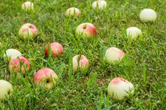 Red apples on green grass in the orchard. Fallen ripe apples. Red apples on the grass. Autumn background - fallen red apples on the green grass in orchard. Fresh royalty free stock photo