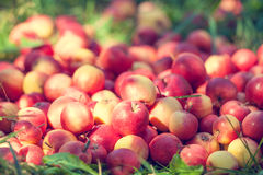 Red apples on the grass Stock Photo