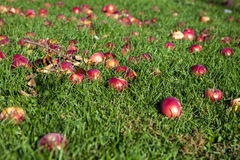 Red apples on the grass in a sunny day. Red apples on the grass Stock Images