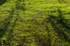 Red apples on the grass in a sunny day. Red apples on the grass Royalty Free Stock Photo