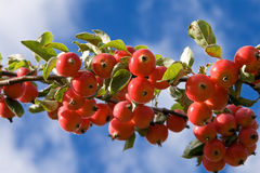 Red apples in green branch Stock Photos