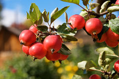 Red apples in green branch Royalty Free Stock Photos