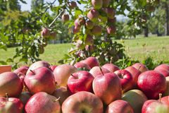 Red apples in green field Royalty Free Stock Image