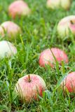 Red apples on green grass in the orchard. Fallen ripe apples. Red apples on the grass. Autumn background - fallen red apples on the green grass in orchard. Fresh royalty free stock photos