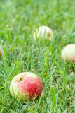 Red apples on green grass in the orchard. Fallen ripe apples. In the summer garden. Shallow depth of field stock images